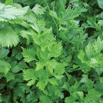 Parsley Gigante D'Italia Organic