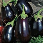 Eggplant Black Beauty Organic