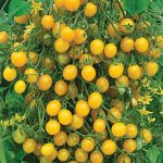 Tomato Mirabelle Blanche Organic