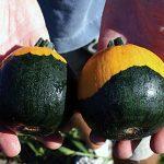 Pumpkin Batwing Hybrid
