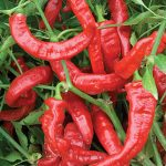 Pepper Sweet Nardella Organic