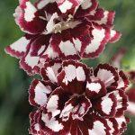 Dianthus Coconut Punch PPAF