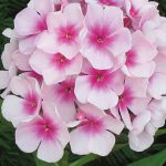 Phlox Flame White Eye PPAF