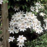 Clematis Henryi (white)