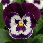 Pansy Panola Purple Face