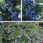 Blueberry 90 Days Southern Collection.