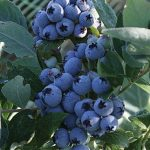 Blueberry Jubilee