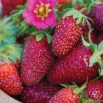 Strawberry Tristan F1