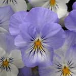 Pansy Plentifall Frost