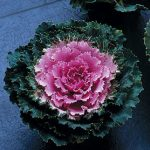 Flowering Kale Song Bird Pink