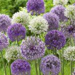 Allium Rosenbachianum Mix
