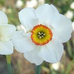 Daffodil Felindre
