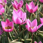 Tulip Humilis Helena