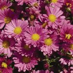 Garden Mum Mammoth Daisy Dark Pink