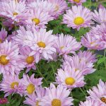 Garden Mum Mammoth Daisy Lavender
