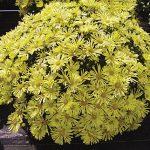 Garden Mum Mammoth Daisy Quill Yellow