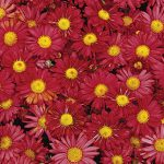 Garden Mum Mammoth Daisy Red