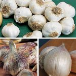 Garlic Burpee's Best Collection