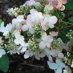 Hydrangea Pinky-Winky