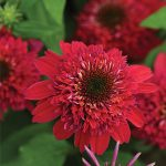 Echinacea Double Scoop Raspberry PPAF