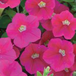 Petunia Shock Wave Coral Crush