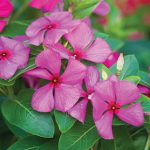 Vinca Merry Go Round Grape