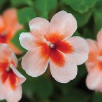 Impatiens Salmon Splash