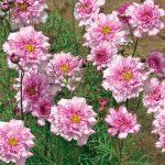 Cosmos Double Click Bicolor Pink