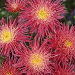 Aster Salmon Red