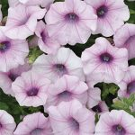 Petunia Shock Wave Pink Vein