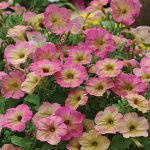 Petunia Dusty Rose Hybrid