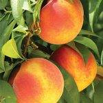 Peach Gloria PP18224