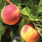 Peach John Boy