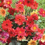 Dahlia Fordhook Garden Mix