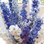 Delphinium Fordhook Cottage Garden Mix