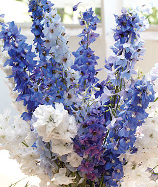 Our Own Blend Of White Sky And Deep Purple Blue Delphiniums Tall Sy Floriferous Plants Topped With Spikes Make In The Cottage Garden
