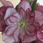 Helleborus Stained Glass