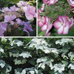 Hydrangea Specialty Collection