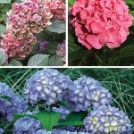 Hydrangea Mophead Trio Collection
