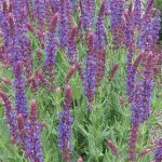 Salvia Burgundy Candles