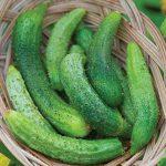 Cucumber Parisian