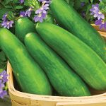 Cucumber Speedy Green Hybrid
