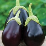 Eggplant Early Midnight Hybrid