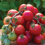 Tomato Cherry Punch Hybrid