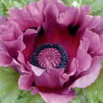 Poppy Patty's Plum