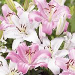 Lily Fragrant Wedding Bells
