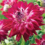 Dahlia Dinnerplate Fantaste du Cape
