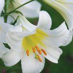 Lily Trumpet Regale