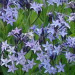 Amsonia Blue Ice