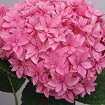 Hydrangea Double Delights Perfection PPAF